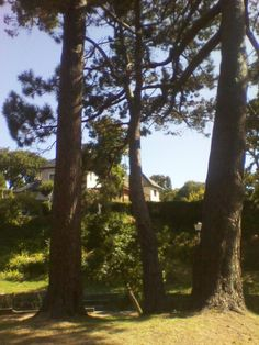 3 pines in a park in Claremont, Jan 2013