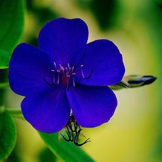 ~~A queen with five petals, Tibouchina Langsdorffiana by Vainsang~~