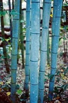 "Blue Bamboo - Phyllostachys nigra 'Henon' - 4"" Pot - Easy to Grow - Indoors/Out"