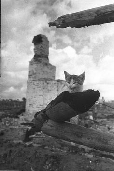 WWII. August 16, 1943. Zhizdra city. from residential buildings remains one ashes. One cat survived. ear shot through by a bullet. Photographer Mikhail Savin.