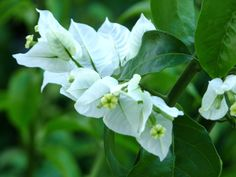 Images For > White Bougainvillea