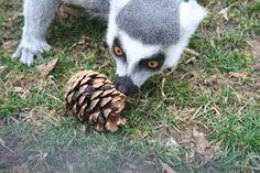 Lemur with pinecone