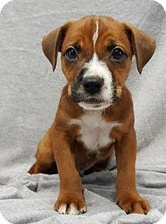 Champaign, IL - Boxer Mix. Meet Jupiter, a puppy for adoption. http://www.adoptapet.com/pet/16748329-champaign-illinois-boxer-mix