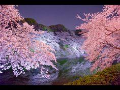 「千鳥ヶ淵の夜桜」の夜景壁紙・写真|Star Field