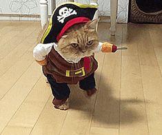 Cat in pirate costume