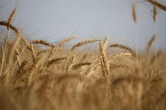 Winter wheat ready for harvest. Photo by Colleen Unger, Stonewall, MB.
