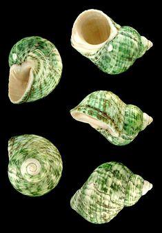 "Real Sea Cookie,Sea Biscuit,Sand Dollar Shells 1/"" Craft Seashells 10//20 Pcs."