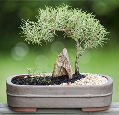 Bonsai Rosemary and Thyme