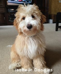 Mini goldendoodle from isabella doodles goldendoodle black, golden labradoo Goldendoodle Black, Goldendoodle Miniature, Australian Labradoodle, Red Labradoodle, Labradoodles, Puppies And Kitties, Cute Puppies, Cute Dogs, Doggies