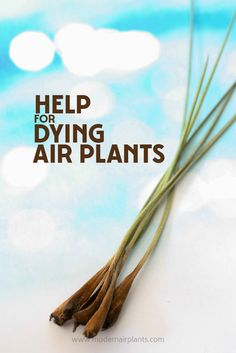 Finally - help for dying air plants - This is so helpful