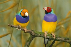 RED and GOLD HEADED GOULDIAN FINCHES
