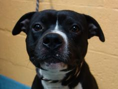 GONE - BE AT PEACE- 12/18/13  Brooklyn Center -P BROKY #A0986755 Male black and white pit mix 2 YRS  SEIZED 12/06/13  House trained, loving, and well behaved. Friendly with other dogs. Likes to play tug of war, as many pups do, especially since prior owners play that way with them. COPS SAID HE IS SUPER SWEET, LOVES TO HAVE HIS BELLY RUBBED  BROKY DID WELL IN HIS EVAL, JUST WAS TENSE DURING EVALUATION. Please, a good boy shouldn't die because he's out of time, and luck. his human was…