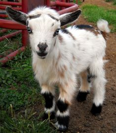 Want him! Nigerian Dwarf Goat Buck