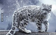Snow Leopard a.k.a Grey Ghosts of Himalaya are very rare to find.