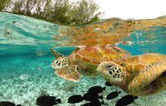 Green Sea Turtles in Bora Bora.
