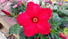 Ibiscus Rosso  #ibiscus #flower #vivaidealverde