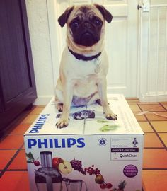 TOUCH this image: This is Ester - a super creative pug! She lives together ... by Ditte Darko