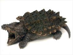Endangered Baby Turtles | the dragon turtles make me think of alligator snapping turtles 3 big ...