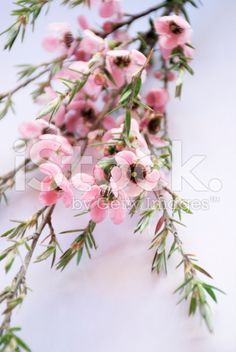 The Manuka flower in bloom on a Tea Tree in soft focus. Royalty Free Images, Royalty Free Stock Photos, Medicine Garden, Tea Plant, Wrist Tattoo, Photo Tree, Medicinal Plants, Tea Tree, Image Now