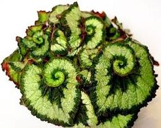 100PCS Unique 24 Colors Begonia Flower Seeds, Courtyard Balcony Coleus Potted Flower Seeds,Variety Complete,The Budding Rate 95%