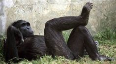 090610-chimp-hmed-9a.grid-6x2.jpg (474×262)