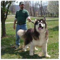 Giant Alaskan Malamute Puppies, Husky Malamute, Giant Malamute, Alaskan Husky, Huge Dogs, Giant Dogs, I Love Dogs, Beautiful Dogs, Animals Beautiful