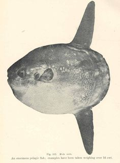 The Mola Mola (ocean sunfish) is considered the largest bony fish. It is protected by 2-3 inches of thick tire-like skin that some say is not only harpoon proof, but bullet proof! The round tailed mola is the largest and most common of the three mola species, it spans up to 14 feet across and it can be seen slowly sculling it's way through the waters of California and Hawaii with it's two strange fins. You can see this lovely creature on display at the Monterey Bay Aquarium | pu4fish