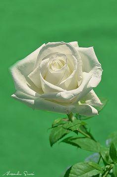 WHITE ROSE by Alessandro Serresi on 500px