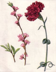 Peach Blossom and Red Carnation by Mary E. Eaton from 'Our State Flowers' - National Geographic Magazine June Wikimedia. Carnation Drawing, Carnation Flower Tattoo, Red Carnation, Flower Tattoos, Flower Art, Illustration Botanique, Illustration Blume, Botanical Drawings, Botanical Prints