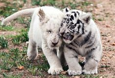 Baby lion & baby tiger