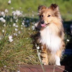 Smooth Collie, Rough Collie, Mini Collie, Shetland Sheepdog, Sheltie, Instagram, Models, Doggies, Sweet