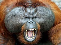 Sumatran Orangutan Species - Visit Orangutans Sumatra Indonesia - Sumatra Red Apes - Sumatra Primate - Sumatra Monkeys - Bukit Lawang Orangutan