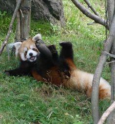 so frickin' cute! Happy Animals, Cute Funny Animals, Cute Baby Animals, Animals And Pets, Red Panda Cute, Panda Mignon, Cute Creatures, Spirit Animal, Animal Photography