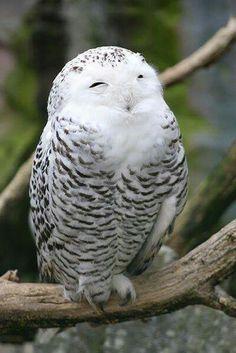 Schneeeule - Snowy Owl by Saromei