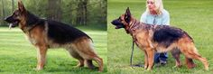 All of Baerental German Shepherds' dogs are bred from the very best West German show lines.German shepherd puppies for sale texas reserves the right of first pick male and/or female for our breeding program.