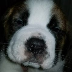 """92 Likes, 10 Comments - iGGi  🐶 The Saint Bernard (@iggi_saintbernard) on Instagram: """"Let's turn back the time... When I was 5 weeks old and captured my pawrents ❤️. 🐶🐾☺️😜 . . .…"""""""