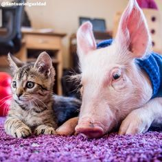 """""""No existe una criatura que tenga más o menos derecho que otra para permanecer en la Tierra"""" A. Douglas  Una enseñanza que desde sus primeros días de vida Laura y Marina le han enseñado a millones de personas    #animalfriends #animalsofinstagram  #animallovers #happyanimals #animalloversonly #cat #cats #catsofinstagram #pig #piggy #piggys #piglet #pigsofinstagram #pigsinstagram #instapig #oinkoink #veganofig #vegan #govegan #friendsnotfood #animalrights #animalliberation #santuarioanimal…"""