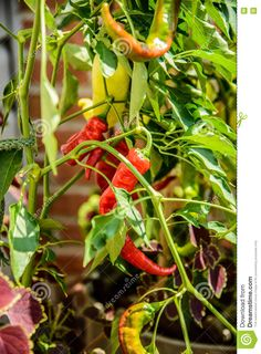 Red And Green Chili Peppers On Vine - Download From Over 46 Million High Quality…