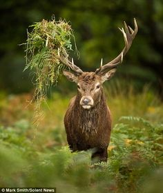 White Wolf: King of Richmond Park: Deer emerges from the undergrowth with a crown of bracken and leaves