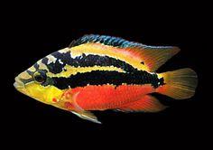 Salvini cichlid 55 Gallon Tank, Cichlid Aquarium, Oscar Fish, Freshwater Aquarium Fish, Cichlids, Tropical Fish, Central America, Horn, Habitats