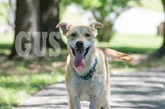 Gorgeous Gus! He walks well on a leash n gets along with other dogs. Hasnt been cat tested. Located in Macon Ga  Email AllAboutAnimalsMacon@yahoo.com.