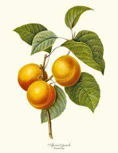 Apricot-peach - Prunus sp. Fruit Botanical Art Print