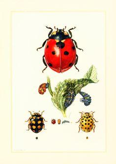 1960 Coccinelle. Illustration Insecte. Planche Identification Originale Entomologie. Nymphe. Oeuf. Métamorphose. de la boutique sofrenchvintage sur Etsy