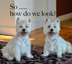 Westies ~ Derby & Julep Their mommy has an informative FB group called WESTIE HEALTH - FROM EARS TO TAIL.