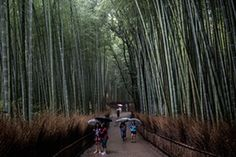 Tourists walk through the famous Sagano bamboo forest in Kyoto, Japan.