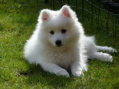 Japanese spitz breeds of small white dogs - Perritos - Top Dog Breeds, Best Dog Breeds, Best Dogs, Japanese Spitz Puppy, Cute Puppies, Cute Dogs, Baby Animals, Cute Animals, Spitz Dogs
