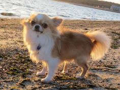 This photo gallery list includes photos of the dutest long-haired Chihuahua puppies as well as adorable pictures of adult long-haired Chihuahuas. Chihuahuas are one of the smallest of all dog breeds, however each does vary in size and shape respectively, Vote up the cutest, sweetest long-haired Chi...