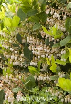 """Salal (or """"lemon leaf""""), Gaultheria shallon"""