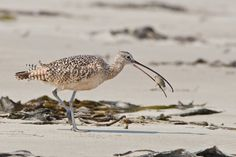 Curlews in crisis? by Supertrooper http://focusingonwildlife.com/news/curlews-in-crisis/