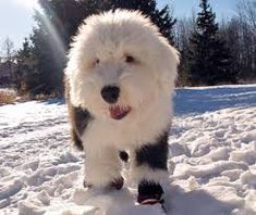 Image result for old english sheepdog mix